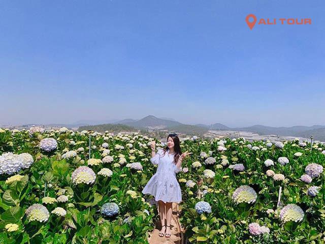 Vườn hoa Cẩm tú cầu địa điểm check in của rất nhiều bạn trẻ